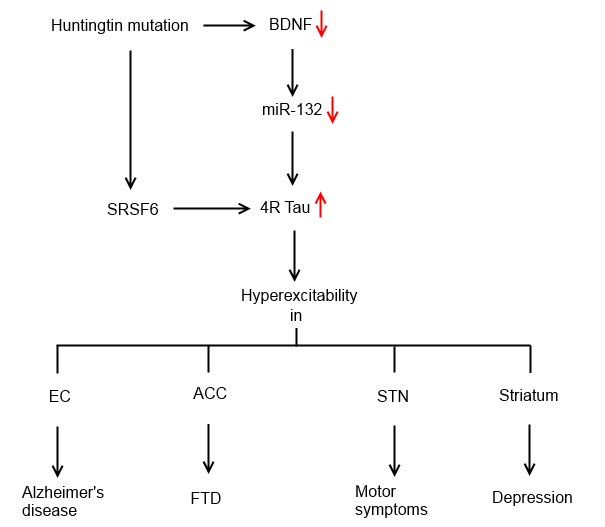 a model for the pathogenesis of hd, which exhibits wide variety of symptoms  similar to other neurodegenerative disorders