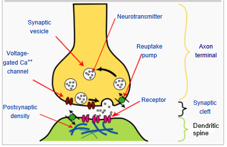 neural and synaptic transmission Looking for online definition of synaptic transmission in the medical dictionary synaptic transmission explanation free what is synaptic transmission meaning of.